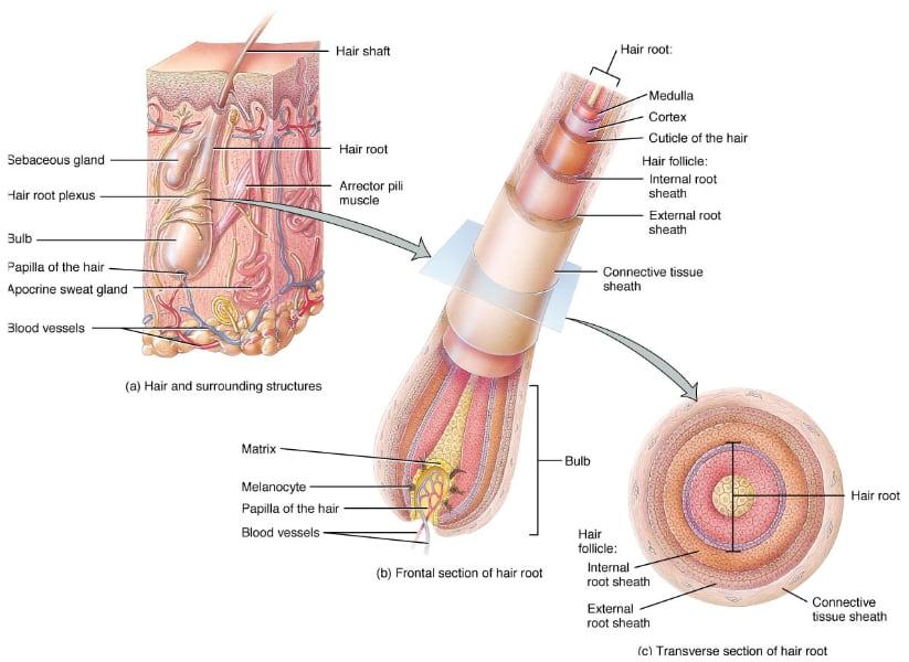 Saç Anatomisi - Op. Dr. Can İşler
